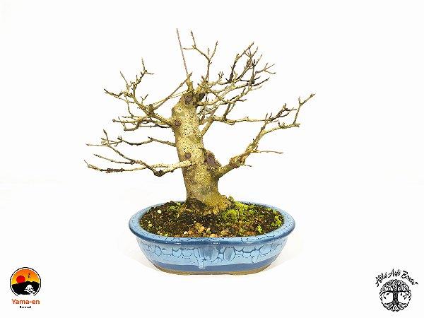 Bonsai Acer Tridente (Altura 21 cm) 8 anos  Acervo Yama-en