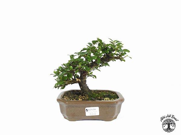 Bonsai Grewia Occidentalis (17 cm Altura) 5 Anos