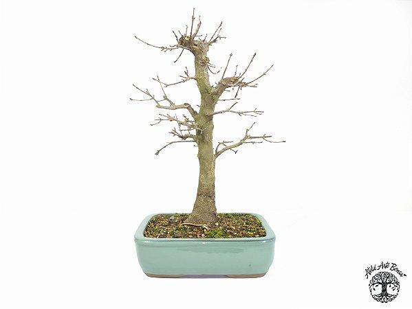 Bonsai Acer Tridente (Altura 36 cm) 15 anos