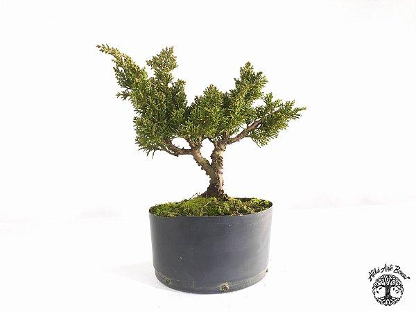 Pré Bonsai Shimpaku Kichu (24 cm altura)