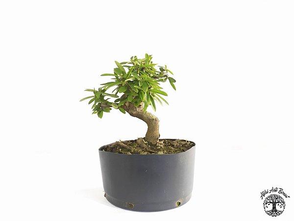 Pré Bonsai Piracanta Laranja (Altura 17 cm)