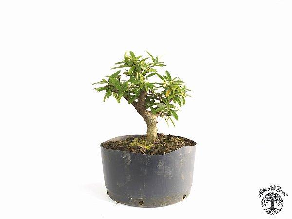 Pré Bonsai Piracanta Laranja (Altura 21 cm)