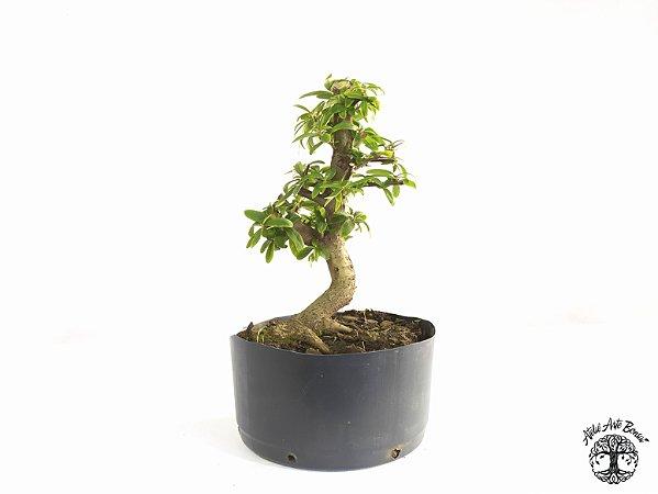Pré Bonsai Piracanta Laranja (Altura 22 cm)