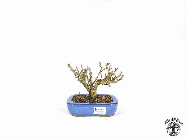 Bonsai Cerejeira Sakura Rosa (13 cm Altura) 4 anos