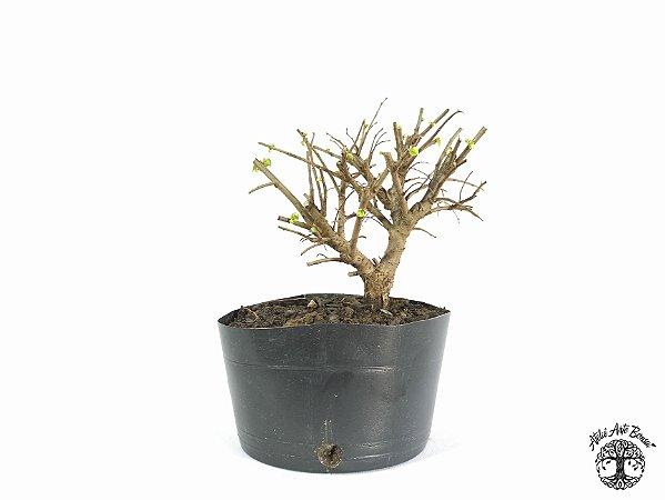 Pré Bonsai Ulmus (Altura 17 cm)