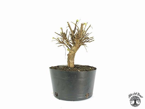 Pré Bonsai Ulmus (Altura 19 cm)