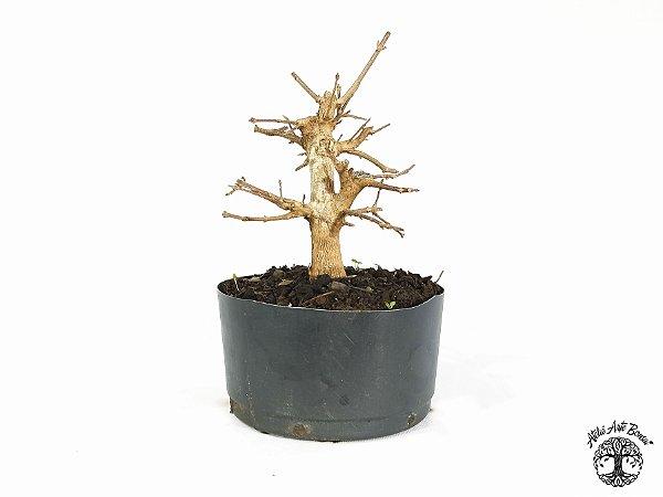 Pré Bonsai Acer Tridente (Altura 19 cm)