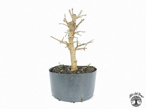 Pré Bonsai Acer Tridente (Altura 22 cm)