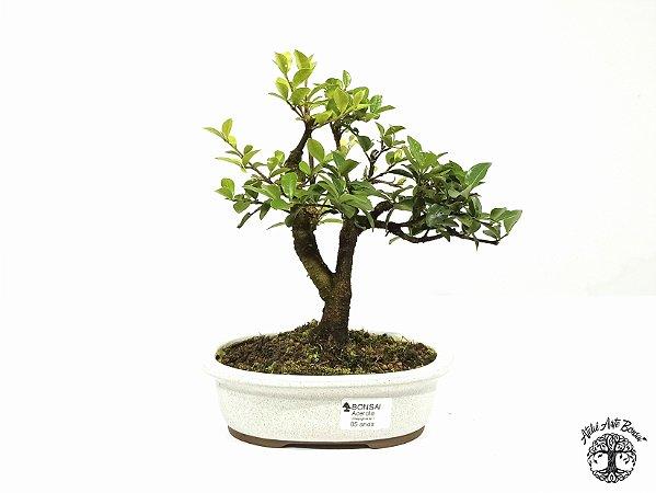 Bonsai Mini Acerola  (23 cm Altura) 5 Anos