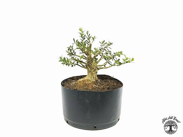 Pré Bonsai Buxus Harlandii  (Altura 15 cm)