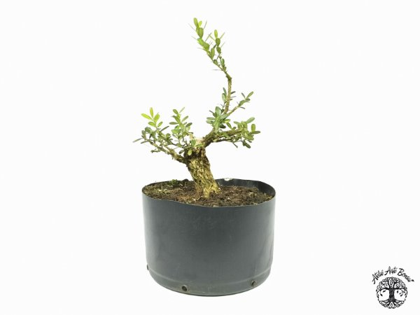 Pré Bonsai Buxus Harlandii  (Altura 13 cm)