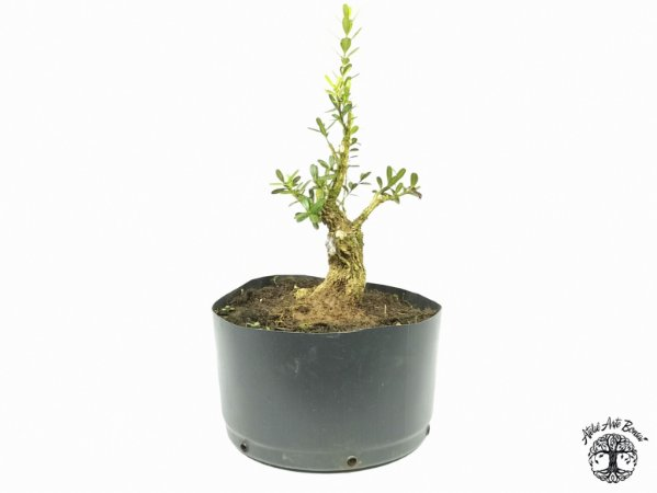 Pré Bonsai Buxus Harlandii  (Altura 14 cm)