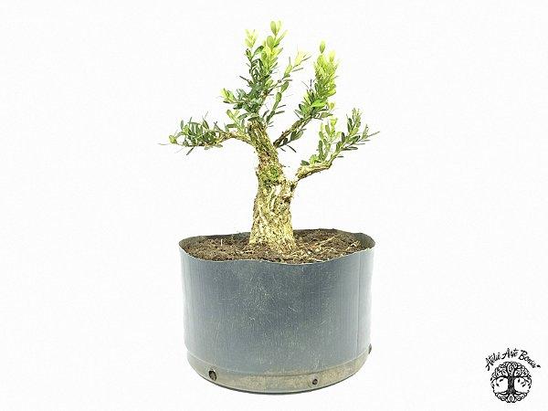 Pré Bonsai Buxus Harlandii  (Altura 20 cm)
