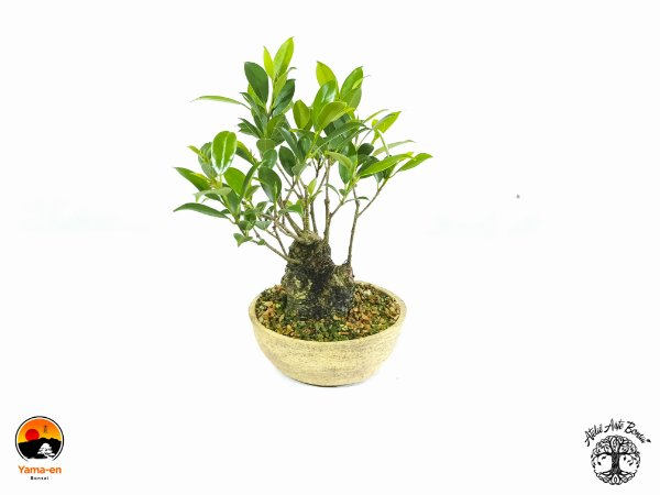 Pré Bonsai Fícus Microcarpa (15 cm altura)