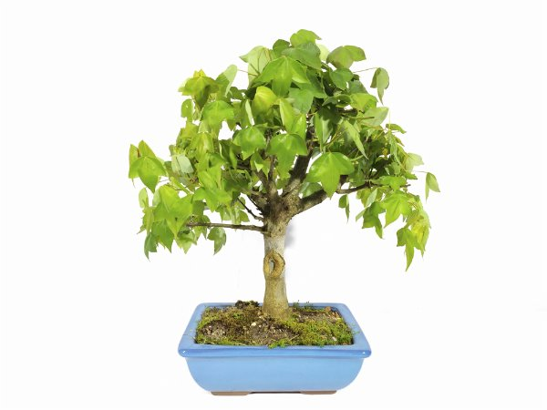 Bonsai Acer Tridente (Altura 29 cm)