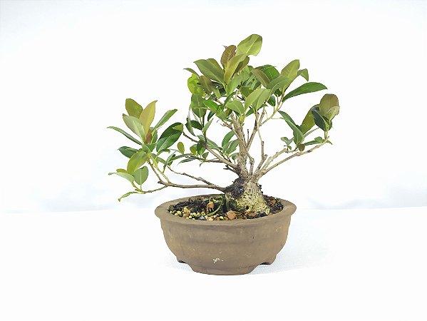 Bonsai Fícus Organensis  (16 cm Altura) 7 anos