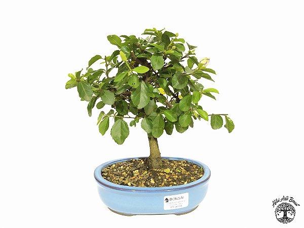 Bonsai Grewia Occidentalis (19 cm Altura) 5 Anos