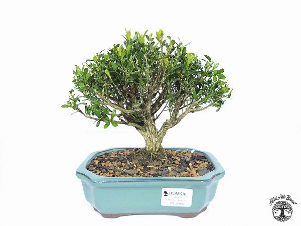 Bonsai Buxus Harlandii (Altura 15 cm) 5 anos