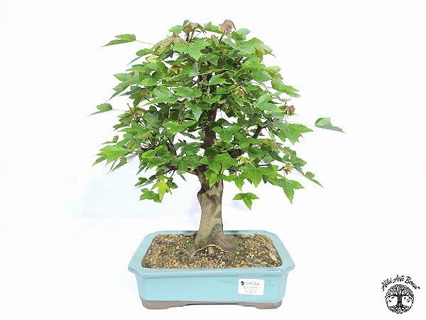 Bonsai Acer Tridente (Altura 33 cm) 12 anos