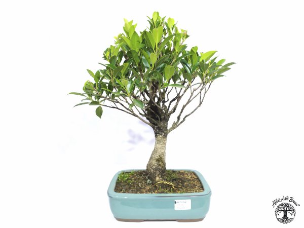 Bonsai Fícus Microcarpa (37 cm altura)