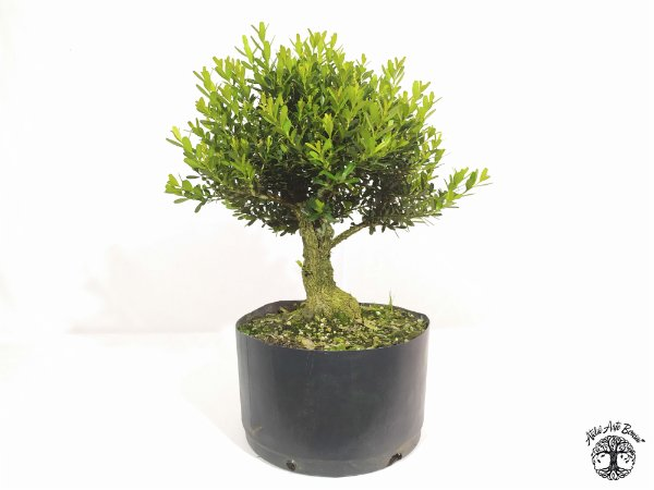 Pré Bonsai Buxus Harlandii (Altura 25 cm)