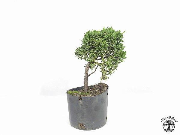 Pré Bonsai Shimpaku 1,5 anos (17 cm altura)