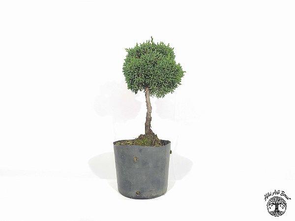 Pré Bonsai Shimpaku 1,5 anos (19 cm altura)