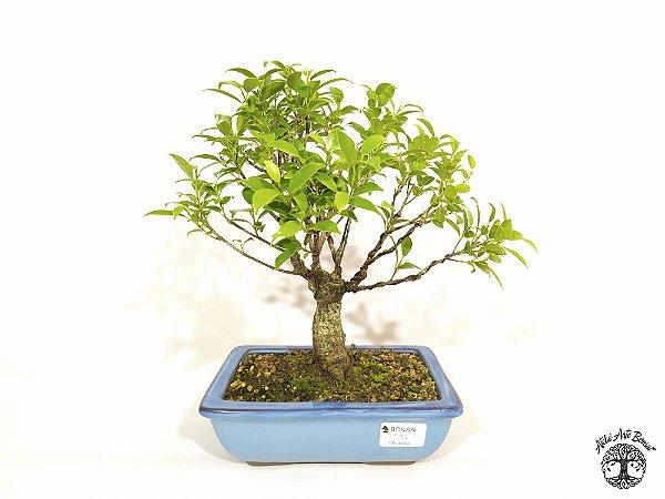 Bonsai Fícus Microcarpa (24 cm altura) 6 anos