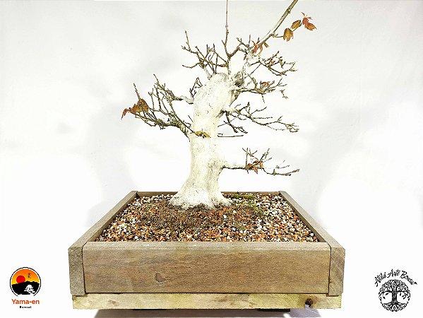 Bonsai Acer Tridente (Altura 32 cm) 19 anos