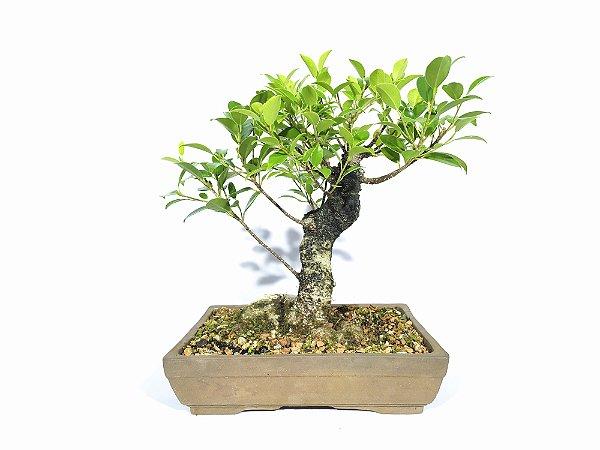 Bonsai Fícus Microcarpa (24 cm altura) 8 anos