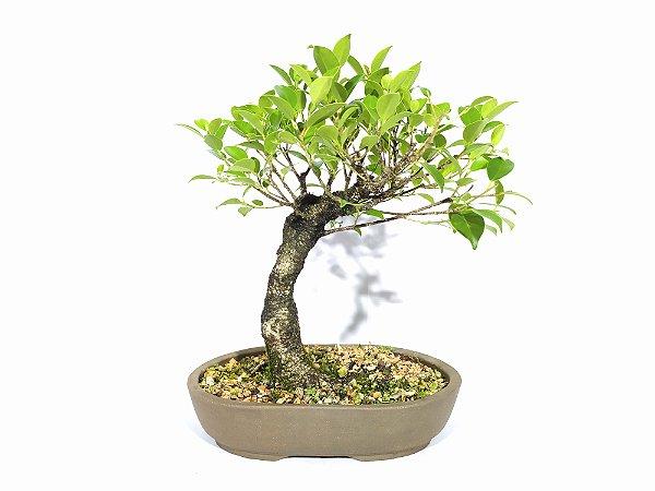 Bonsai Fícus Microcarpa (25 cm altura) 6 anos