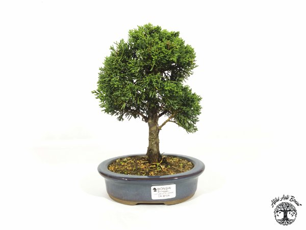 Bonsai Shimpaku 4 anos (21 cm altura)