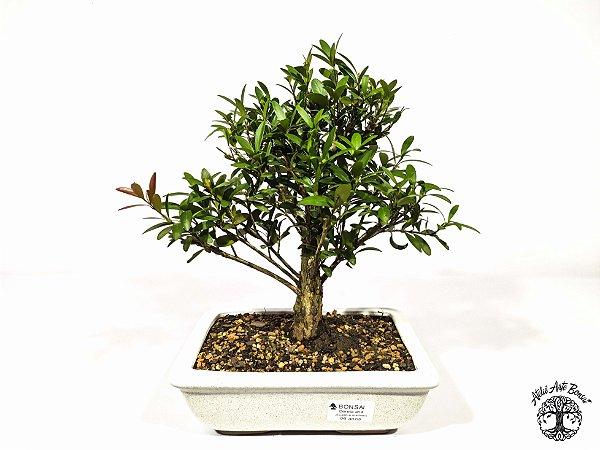 Bonsai Cereja Anã (22 cm Altura) 6 Anos