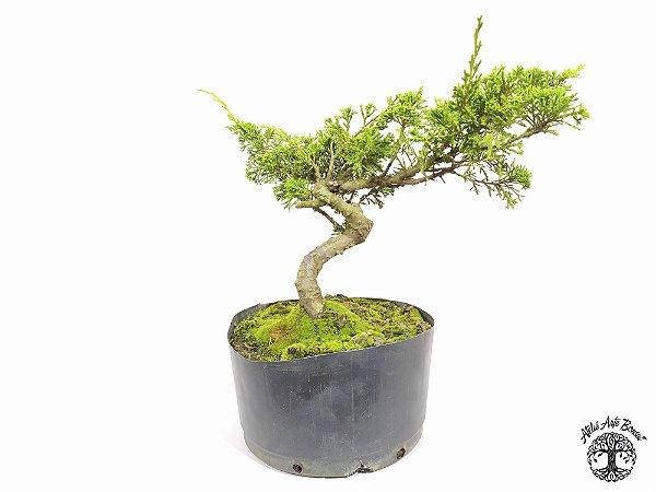 Pré Bonsai Shimpaku Itoigawa (20 cm altura)