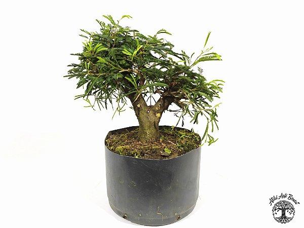 Pré Bonsai Calliandra Rosa  ( 18 cm altura)