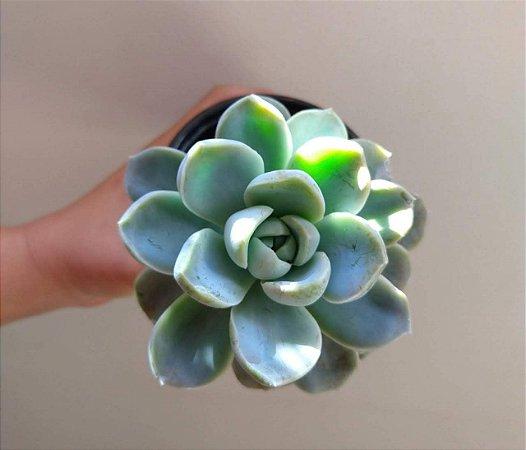 Echeveria White Gilva