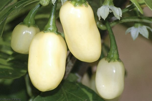 White Habanero Pimenta - 5 Sementes