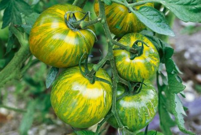 Tomate Green Zebra - 20 Sementes