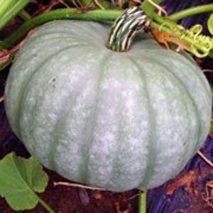 Moranga Pataca Gigante: 10 Sementes