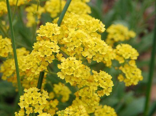 Alyssum Amarela: 20 Sementes