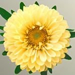 Aster Serenata Amarela: 15 Sementes