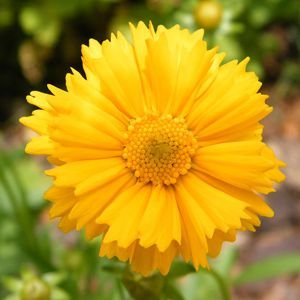 Coreopsis Amarela: 20 Sementes