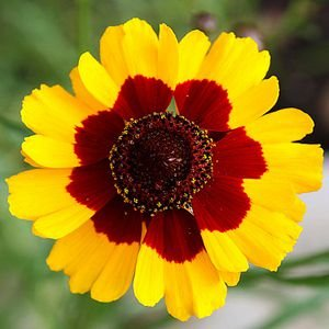 Coreopsis Bicolor: 20 Sementes