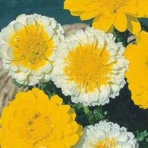 Crisântemo Amarelo, Creme e Branco: 20 Sementes