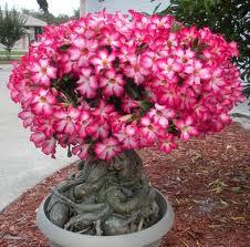 Rosa do Deserto (Adenium): 50 Sementes