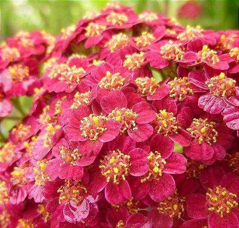 Mil-Folhas Vermelha: 50 Sementes