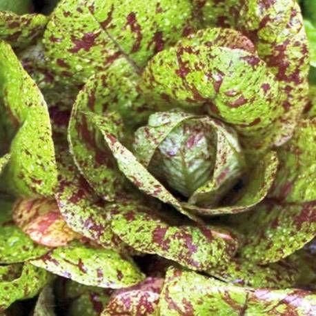 Alface Rajada Freckles: 100 Sementes