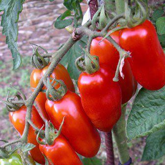 Tomate Italiano San Marzano: 20 Sementes