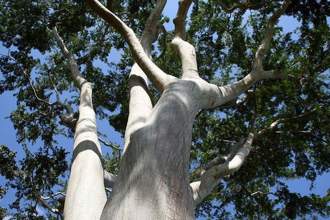 Farinha Seca (Albizia niopoides): 10 Sementes