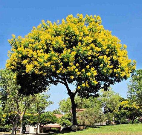Faveiro do Cerrado (Peltophorum Dubium): 10 Sementes